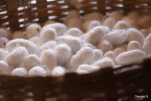 Harvested Cocoons