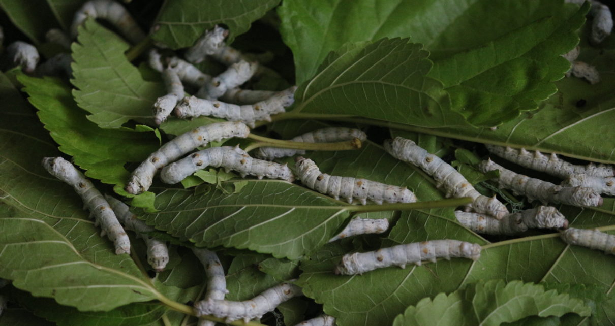 Silk Worm Feed - Mulberry