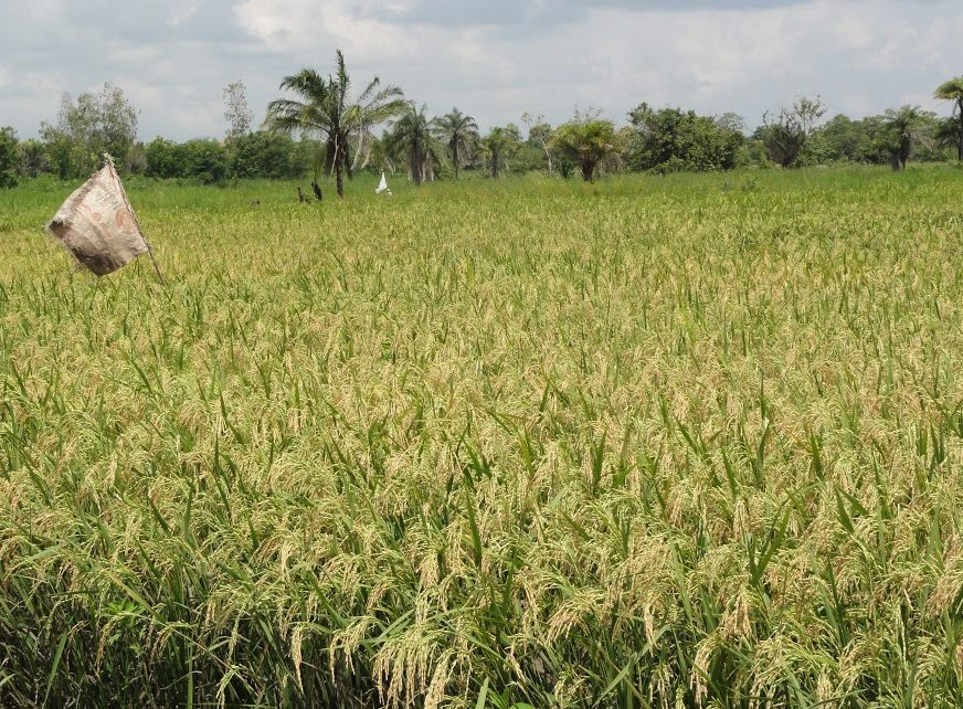 ITK in Rice weed management
