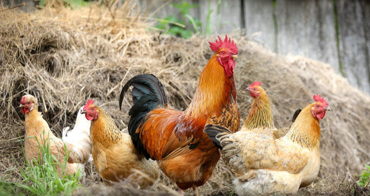 rural backyard poultry importance in India