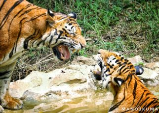 Faith in Tiger forestry
