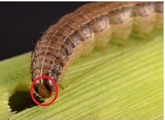 A new invasion on Maize - Army Worms