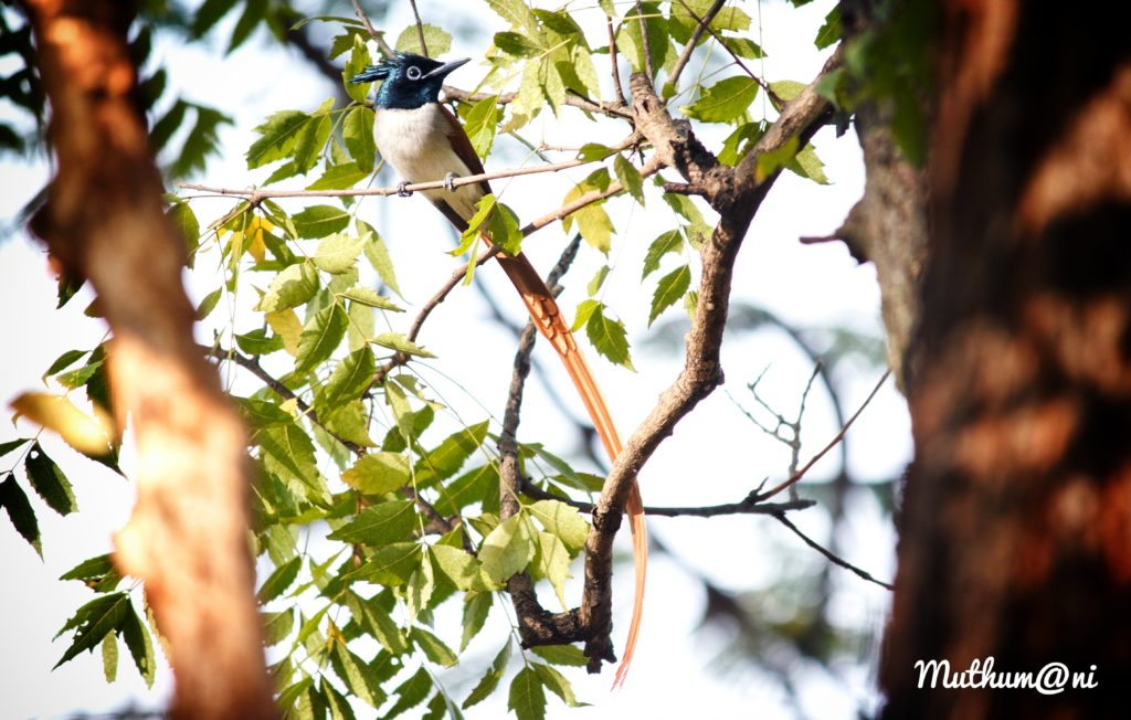 Muthumani Asian Paradise Fly catcher