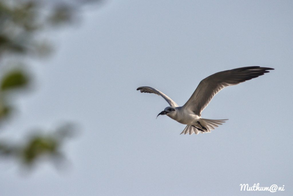 Muthumani: Artic Tern ; birds in india