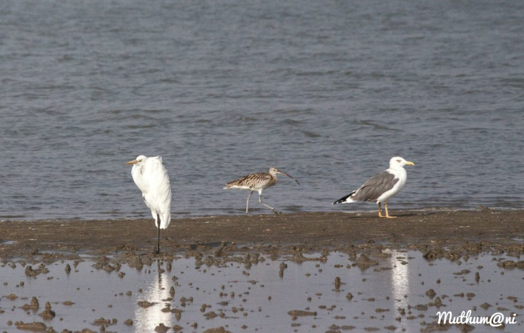 Threats faced by sea birds - Greater Egret (left), Eurasian Curlew (middle), Seagull (right)