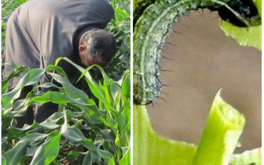 IPM for fall armyworm